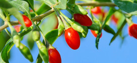 goji berry slim
