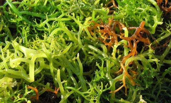 Alga Agar agar in natura (Foto: Divulgação)
